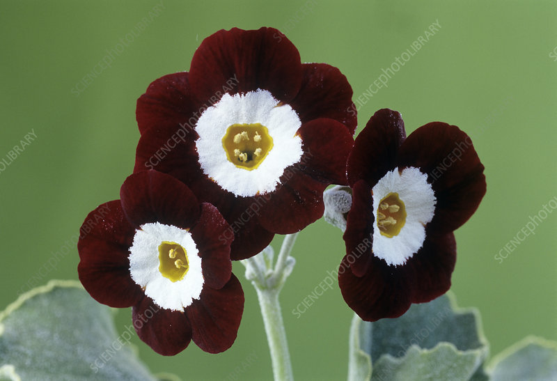 Show auricula 'Old Red Elvet' flowers