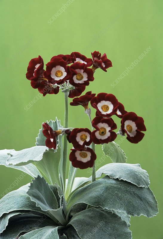Show auricula 'Headdress' flowers