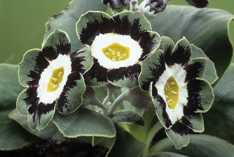 Show auricula 'Marmion' flowers