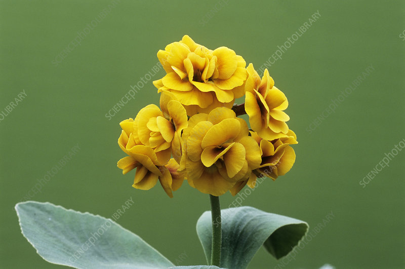 Double auricula 'Golden Hind' flowers