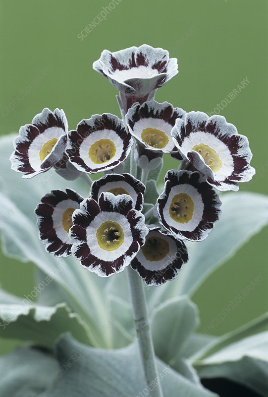Show auricula 'Star Wars No. 1' flowers