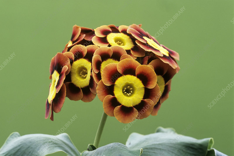 Alpine auricula 'Ancient Society' flowers