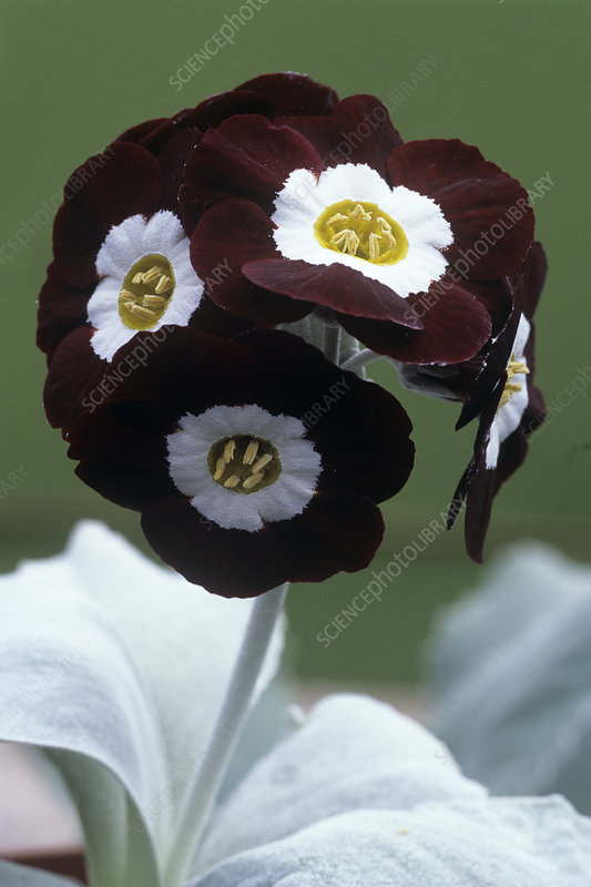 Show auricula 'Gizabroon' flowers