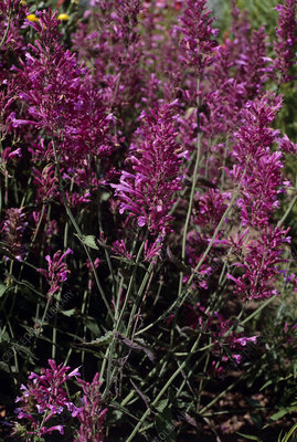 Agastache 'Heather Queen' flowers