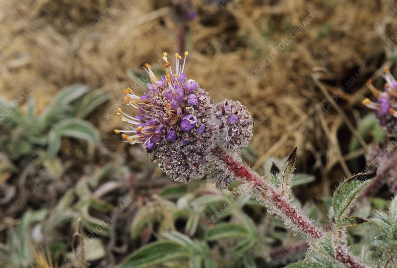 Phacelia californica flower