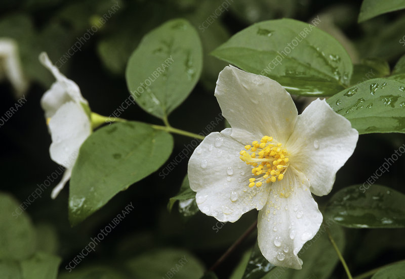 Mock orange (Philadelphis sp.)