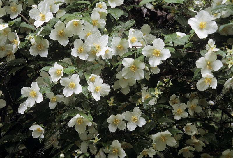 Mock orange (Philadelphus sp.)
