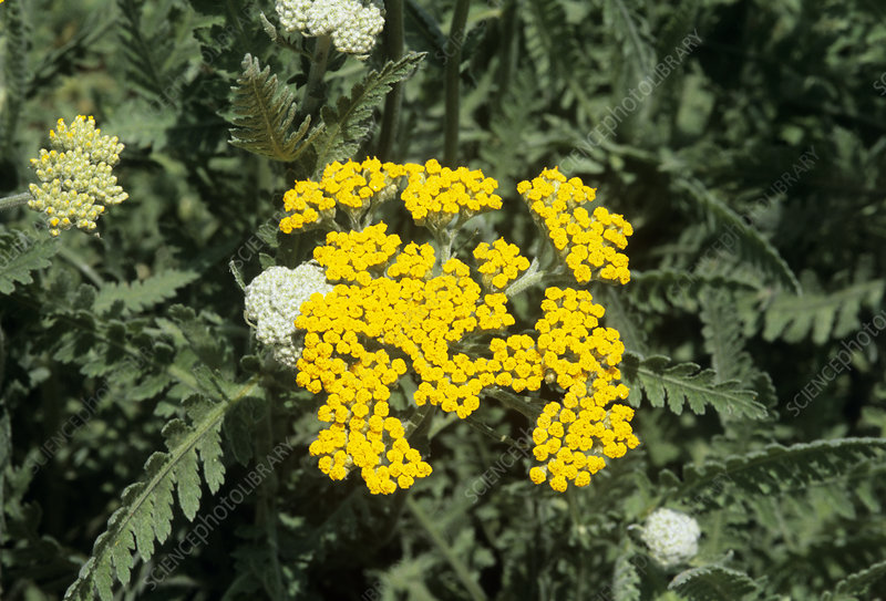 Achillea 'Coronation Gold' flowers
