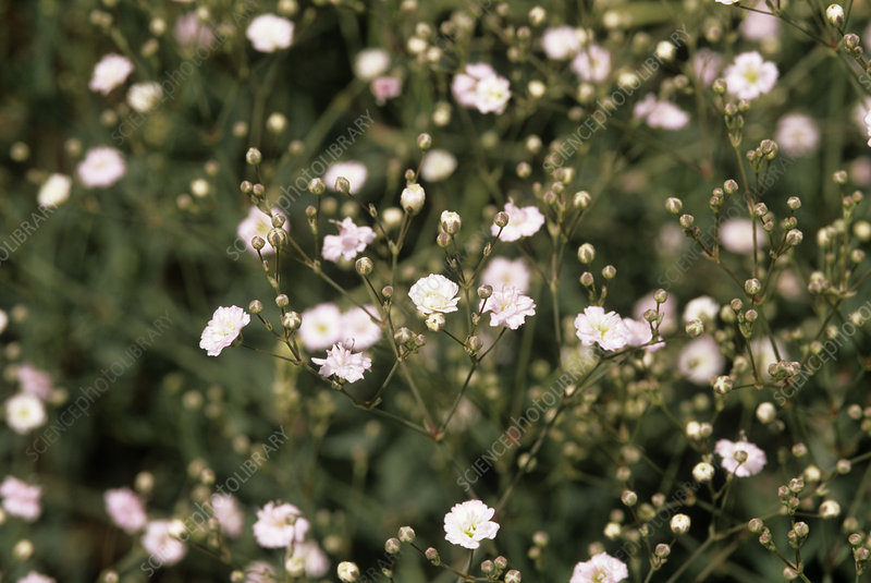 Gypsophila 'Pink Fairy' flowers
