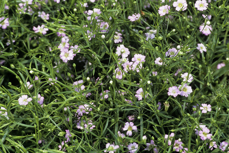 Gypsophila 'Gypsy' flowers