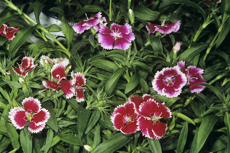 Chinese pink flowers (Dianthus sinensis)