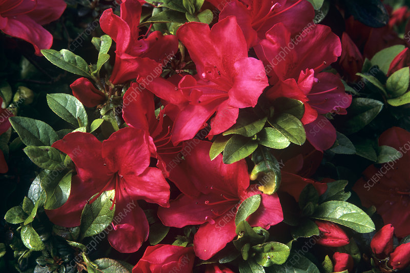 Rhododendron 'Vuyk's Scarlet' flowers