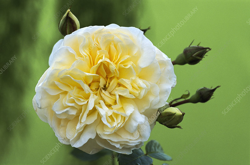 Rose (Rosa 'Perpetually Yours')