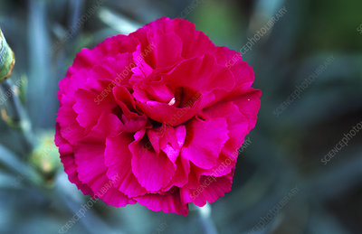 Dianthus Flower on Pink Flower  Dianthus  Carlotta     Stock Image B590 1476   Science