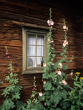 Hollyhocks (Alcea rosea)