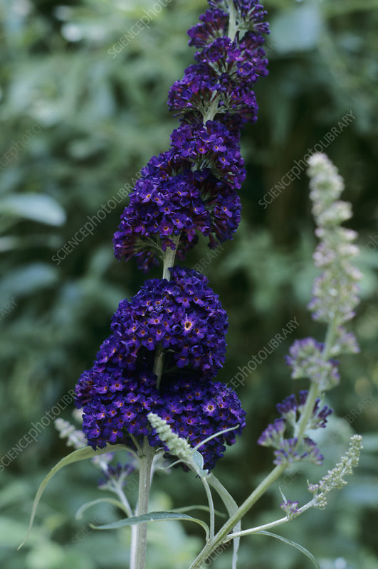 Buddleia davidii 'Black Night' flowers