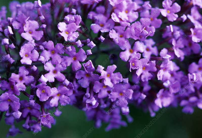 Butterfly bush (Buddleia davidii) flowers