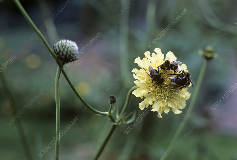 Bees on a Cephalaria gigantea flower