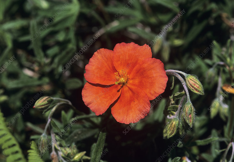 Sunrose (Helianthemum 'Welsh Flame')