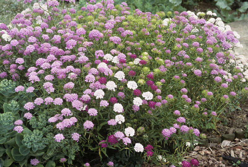 Candytuft (Iberis 'Fairy Series')