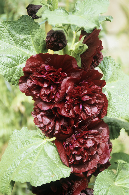 Hollyhock (Althea 'Chaters Double')