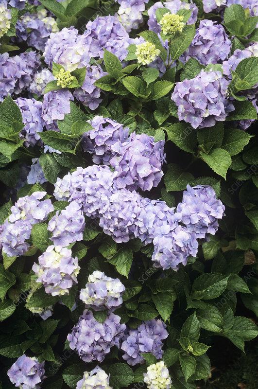 Hydrangea bouquet rose stock image b  science