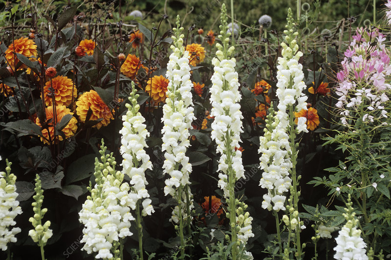 Snapdragon (Antirrhinum 'Rocket Series')