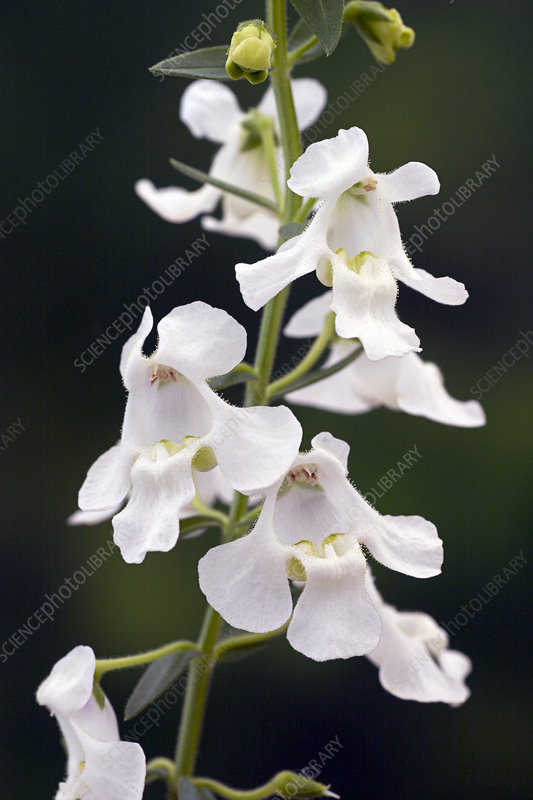 Angelonia Carita Series 'White'