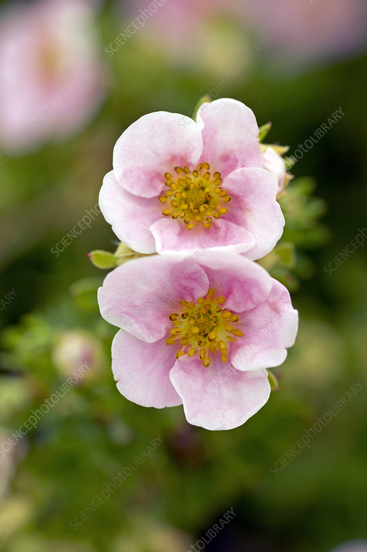 Buttercup shrub 'Pink Queen'