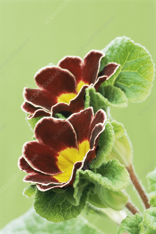 Gold laced polyanthus 'Jack in the Green'