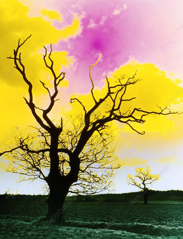 False colour photo of oak tree