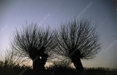 Willow trees at twilight