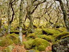 Knarled oak trees,Puzzle wood,Dartmoor
