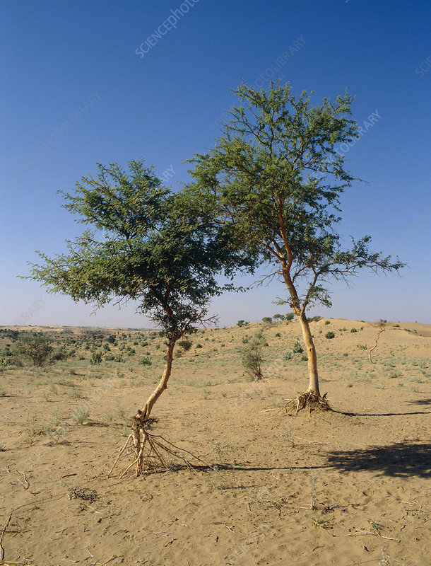 Trees in Thar Desert, India