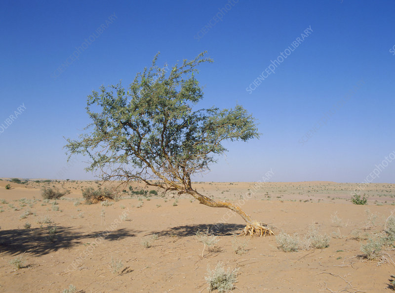 Tree in Thar Desert, India