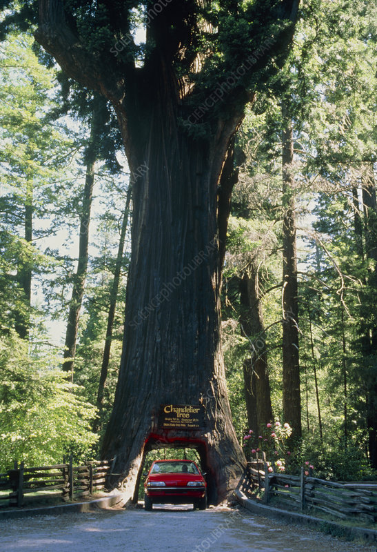 Redwood tree with car driving through