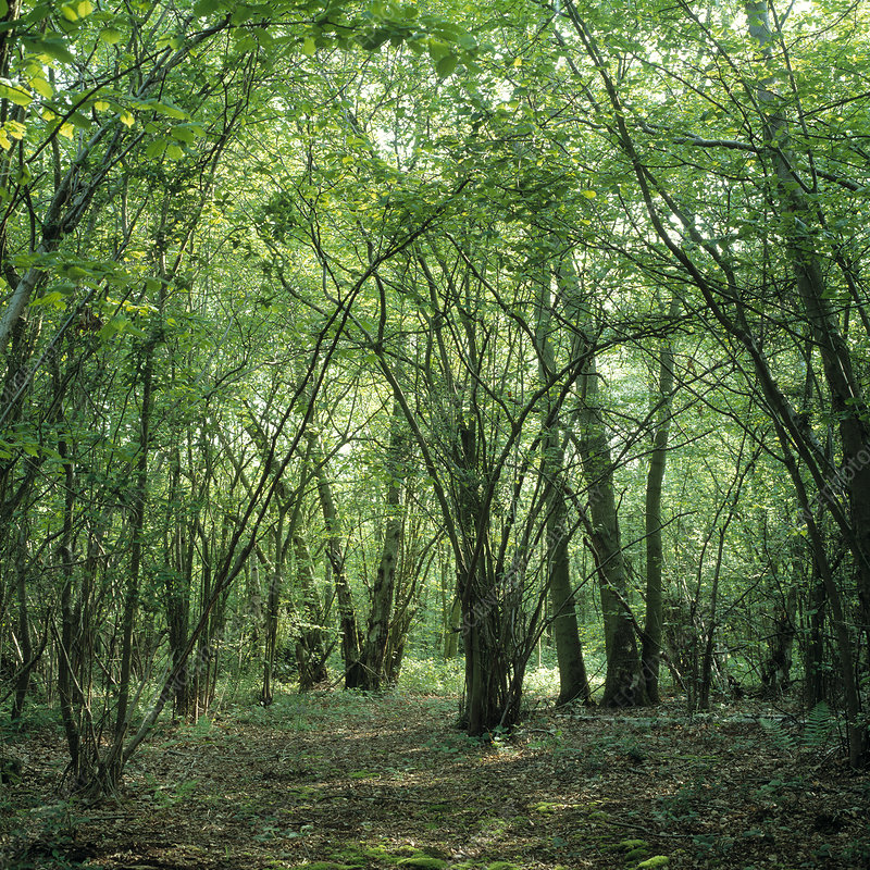 Coppice woodland with hazel trees