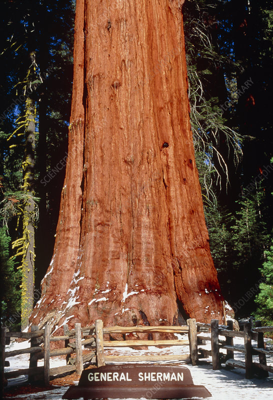 Base of Giant Sequoia 'General Sherman'