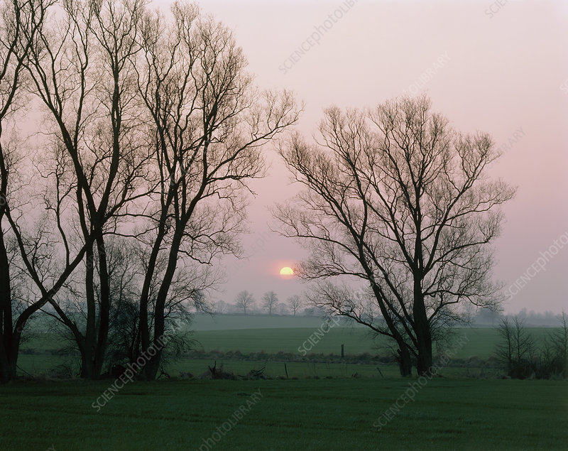 White willow trees and winter sunset
