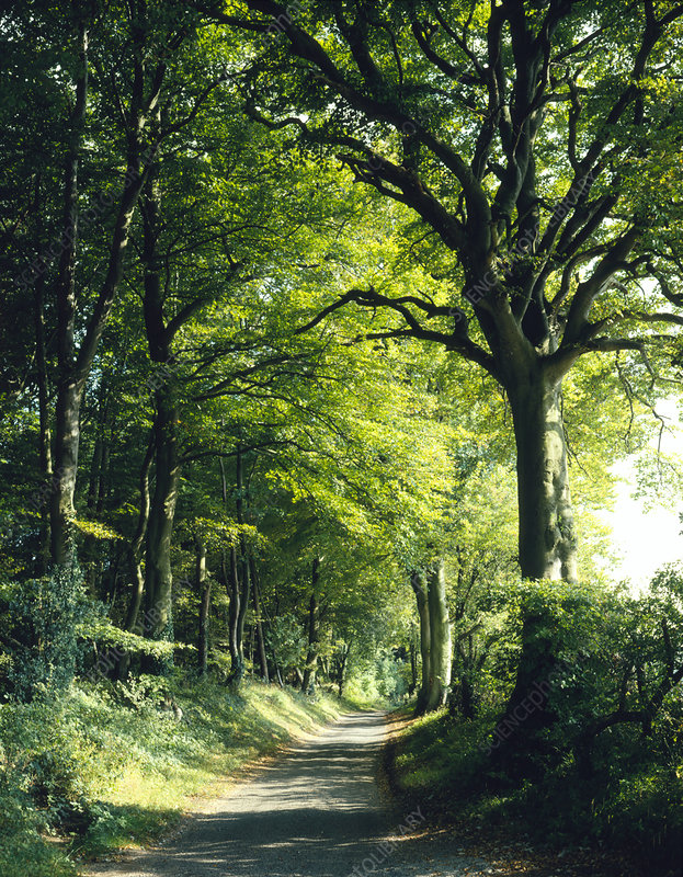 Beech trees and country lane