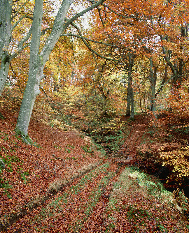 Woodland of Common Beech in autumn