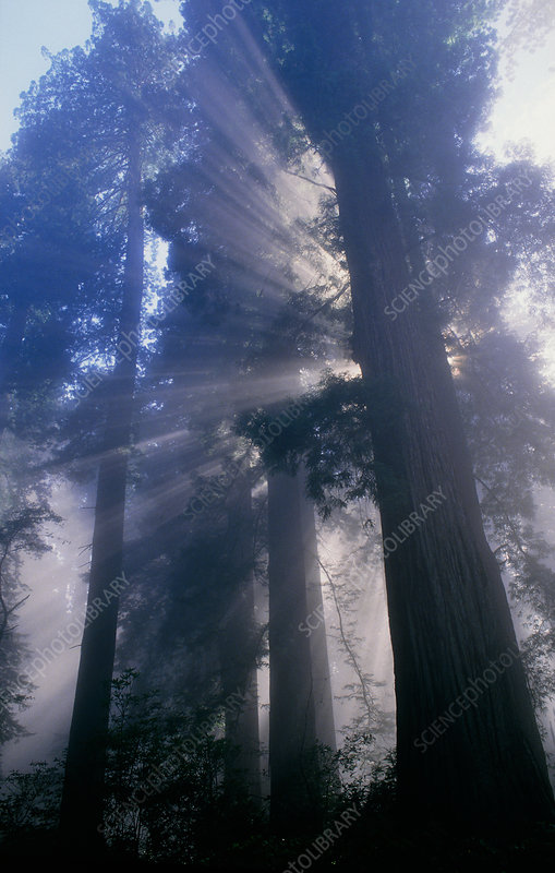 Light coming through redwood trees.