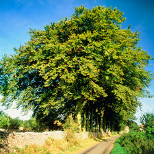 Trees along a country lane in summer