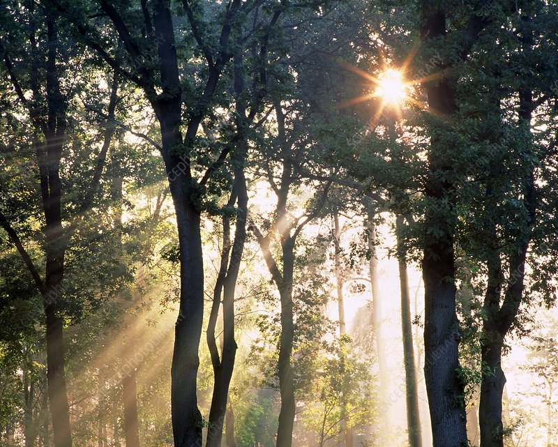 Rays of sunlight penetrate woodland trees