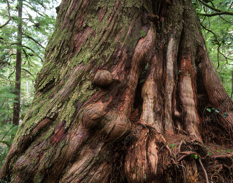 Huge trunk of a Western Red Cedar tree