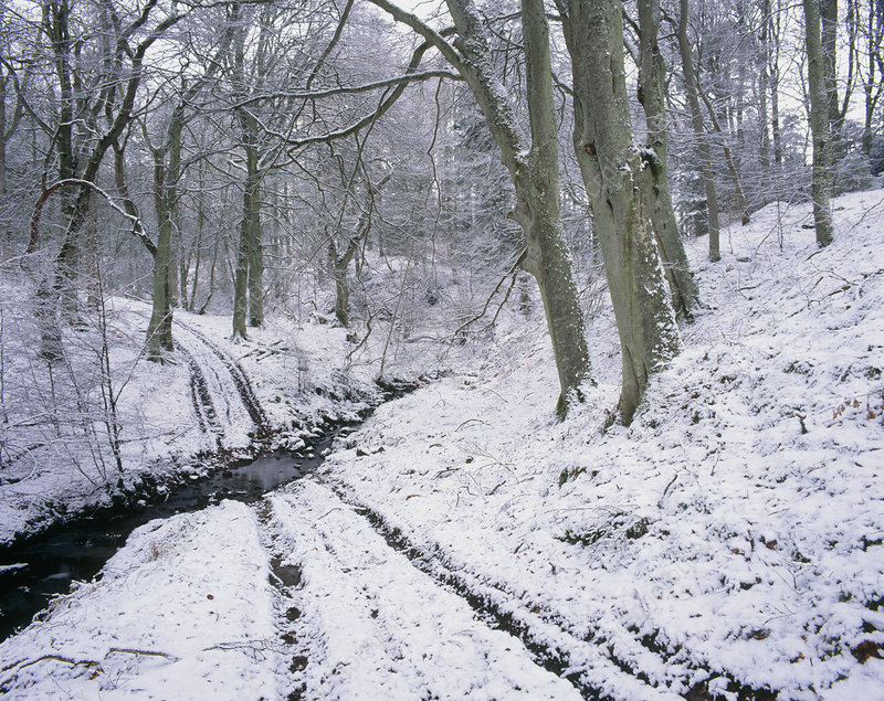 Beech wood in winter snow