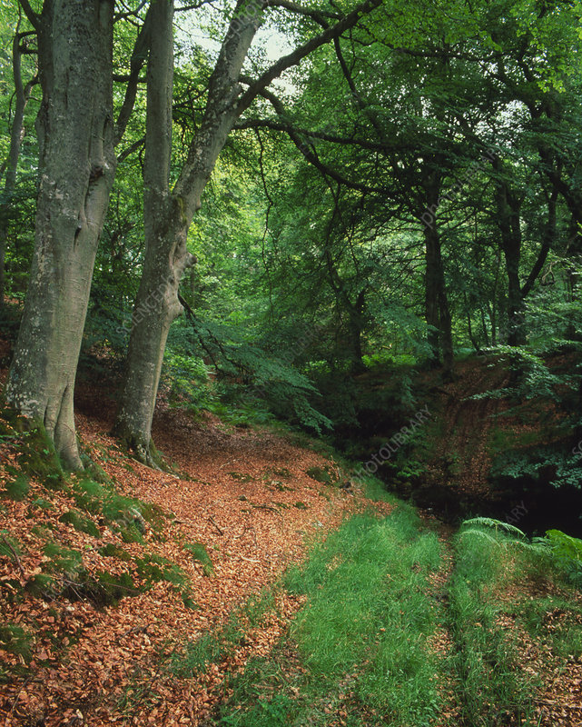 Woodland of Common Beech in summer