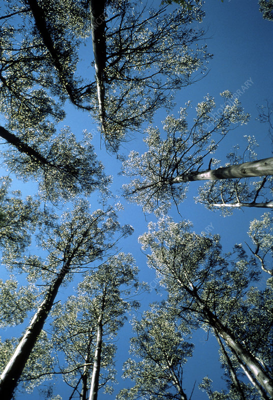 Skyward view of Eucalyptus regnans trees
