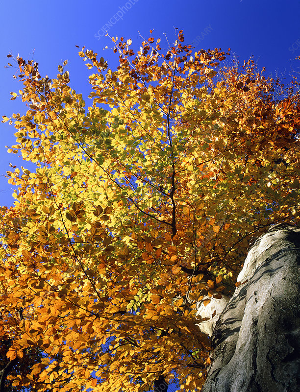 Common Beech tree in autumn