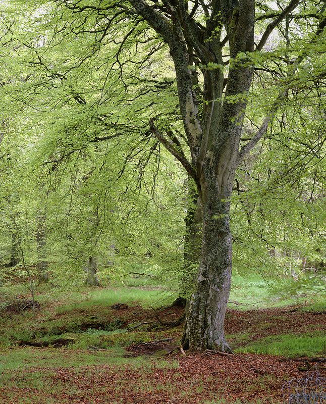 Woodland of Common Beech in spring